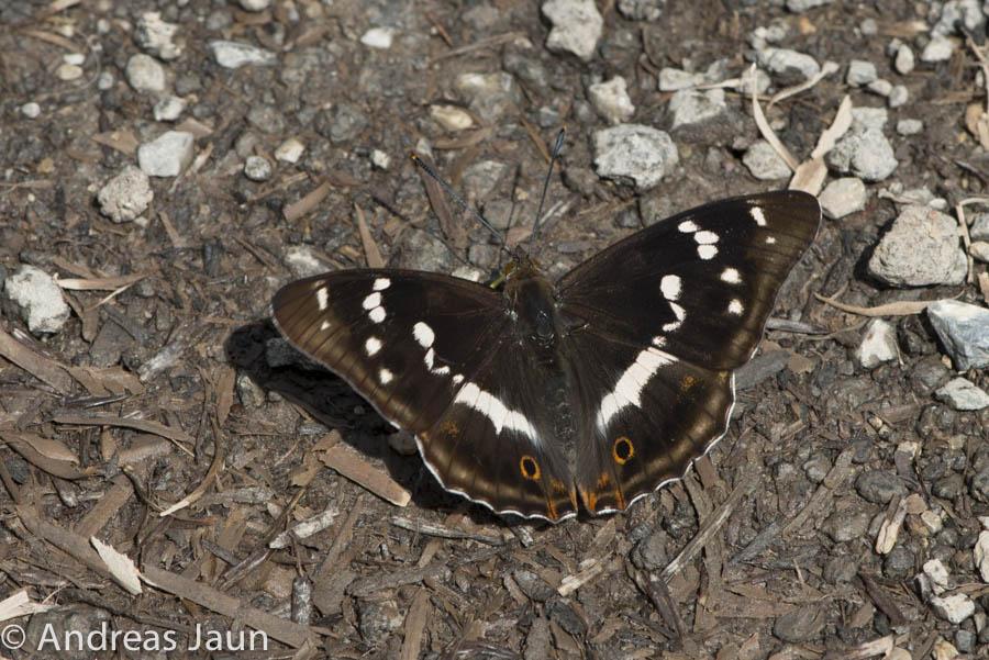 Grosser Schillerfalter - Apatura iris 2014-1.jpg
